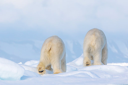BEA 06 KH0110 01 © Kimball Stock Back View Of Two Polar Bears Walking On Pack Ice In Svalbard