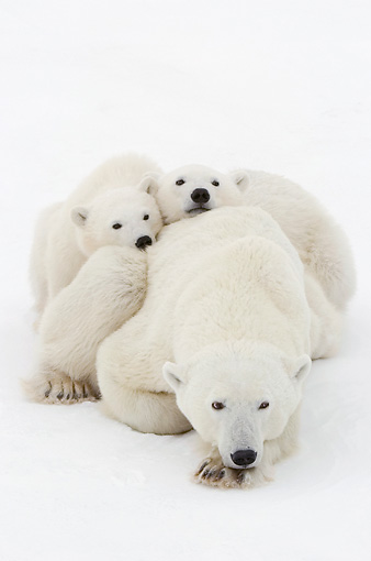 BEA 06 NE0119 01 © Kimball Stock Polar Bear Mother And Cubs Waiting For Ice To Freeze At Cape Churchill, Manitoba, Canada