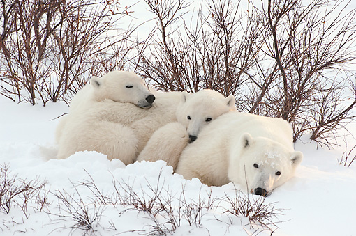 BEA 06 NE0122 01 © Kimball Stock Polar Bear Mother And Cubs Resting In Daybed At Cape Churchill, Manitoba, Canada