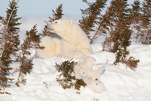 BEA 06 NE0125 01 © Kimball Stock Polar Bear Mother And Cub Recently Out Of Den Manitoba, Canada