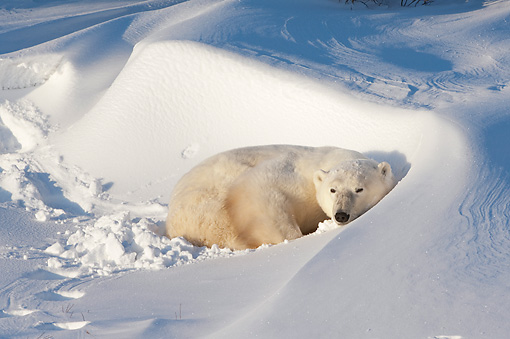 BEA 06 NE0127 01 © Kimball Stock Polar Bear Resting In Snowdrift At Cape Churchill, Manitoba, Canada
