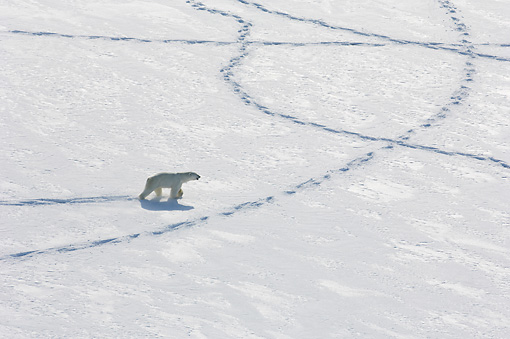 BEA 06 NE0128 01 © Kimball Stock Polar Bear Walking And Making Tracks In Snow