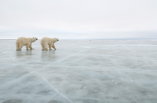BEA 06 NE0129 01 © Kimball Stock Two Polar Bears Walking On Ice Cape Churchill, Manitoba, Canada