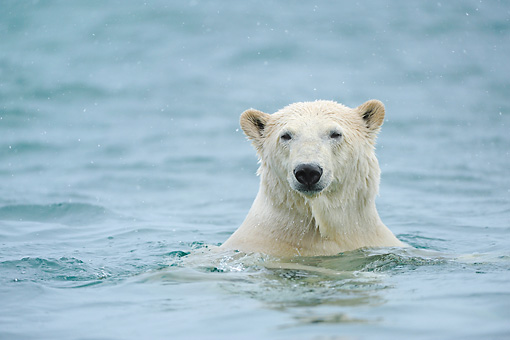 BEA 06 NE0131 01 © Kimball Stock Polar Bear Swimming In Waters Around Svalbard, Norway