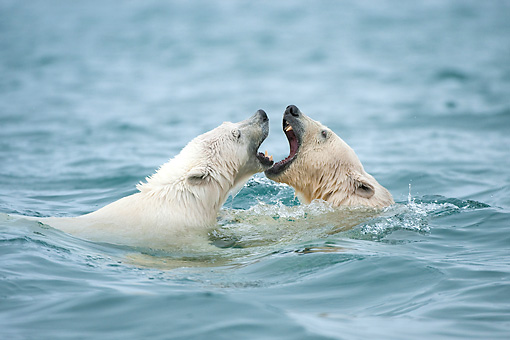 BEA 06 NE0132 01 © Kimball Stock Polar Bear Mother And Cub Playing In Waters Around Svalbard, Norway