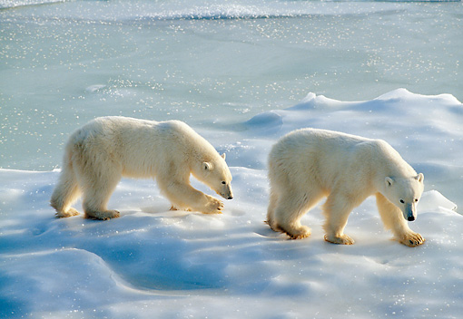 BEA 06 NE0133 01 © Kimball Stock Polar Bear Mother Walking With Cub Hudson Bay, Canada