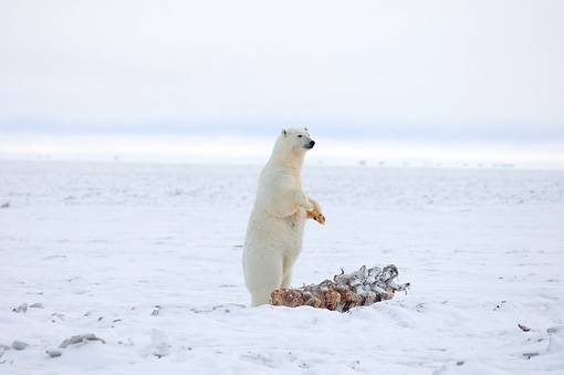 BEA 06 SK0159 01 © Kimball Stock Polar Bear Standing On Hind Legs Over Carcass In Snow