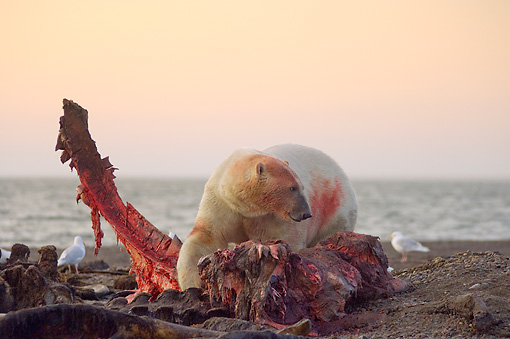 BEA 06 SK0160 01 © Kimball Stock Polar Bear Standing Over Bloody Carcass On Beach