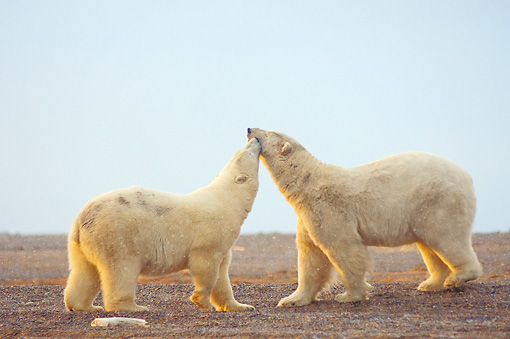 BEA 06 SK0162 01 © Kimball Stock Two Polar Bears Kissing On Tundra