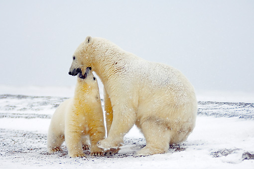 BEA 06 SK0164 01 © Kimball Stock Polar Bear Mother And Cub Playing On Tundra
