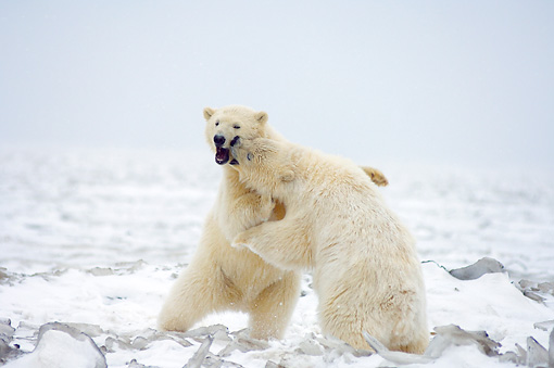 BEA 06 SK0166 01 © Kimball Stock Two Polar Bears Playing On Tundra