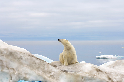 BEA 06 SK0169 01 © Kimball Stock Polar Bear Sitting On Sea Ice
