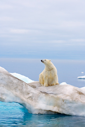 BEA 06 SK0170 01 © Kimball Stock Polar Bear Sitting On Sea Ice
