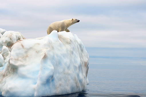 BEA 06 SK0177 01 © Kimball Stock Polar Bear Standing On Sea Ice