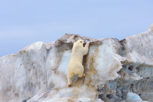 BEA 06 SK0179 01 © Kimball Stock Polar Bear Climbing On Sea Ice
