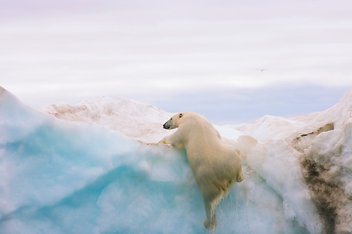 BEA 06 SK0180 01 © Kimball Stock Polar Bear Climbing On Sea Ice