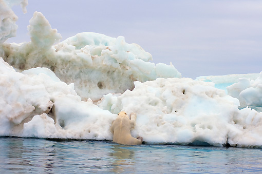 BEA 06 SK0181 01 © Kimball Stock Polar Bear Climbing On Sea Ice
