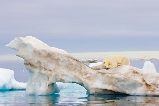 BEA 06 SK0186 01 © Kimball Stock Polar Bear Sleeping On Sea Ice