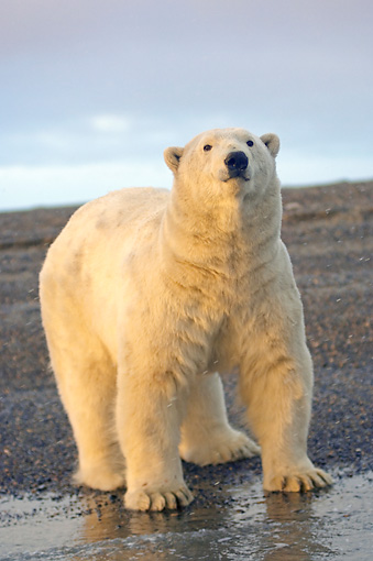 BEA 06 SK0193 01 © Kimball Stock Polar Bear Standing On Beach