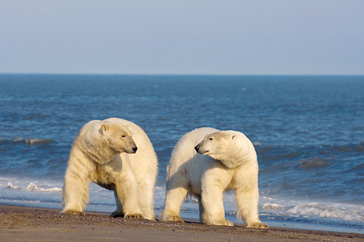 BEA 06 SK0195 01 © Kimball Stock Two Polar Bears Standing On Beach