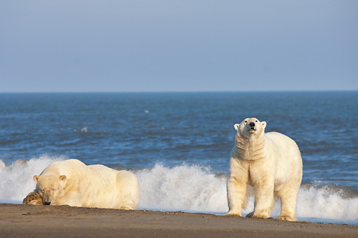 BEA 06 SK0196 01 © Kimball Stock Two Polar Bears Laying And Standing On Beach