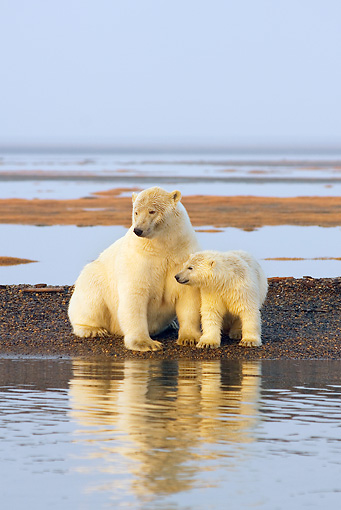 BEA 06 SK0198 01 © Kimball Stock Polar Bear Mother And Cub Sitting And Standing On Beach