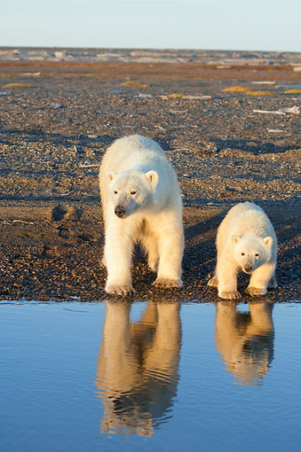 BEA 06 SK0199 01 © Kimball Stock Polar Bear Mother And Cub Standing On Beach