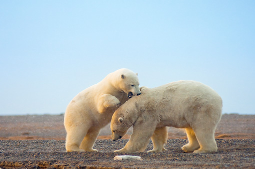 BEA 06 SK0201 01 © Kimball Stock Polar Bear Mother And Cub Playing On Beach