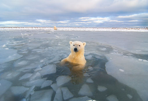 BEA 06 SK0209 01 © Kimball Stock Polar Bear Swimming In Icy Ocean