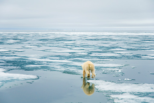 BEA 06 SK0248 01 © Kimball Stock Polar Bear Walking On Sea Ice