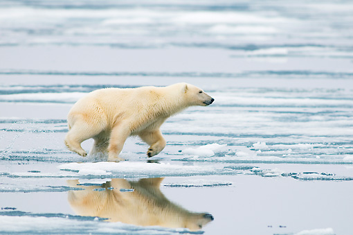 BEA 06 SK0249 01 © Kimball Stock Polar Bear Running On Sea Ice