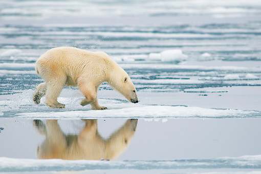 BEA 06 SK0251 01 © Kimball Stock Polar Bear Walking On Sea Ice With Nose Pointed Down
