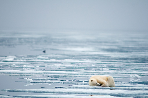 BEA 06 SK0252 01 © Kimball Stock Polar Bear Sleeping On Sea Ice