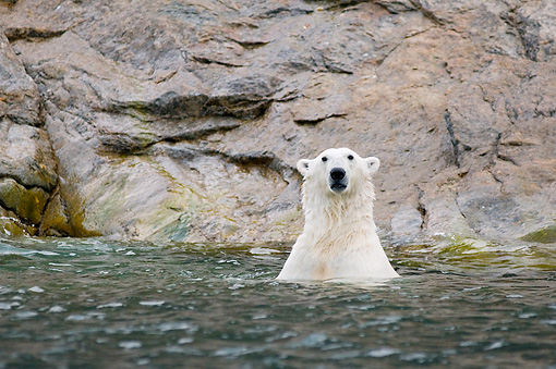 BEA 06 SK0257 01 © Kimball Stock Polar Bear Swimming In Sea Water With Head Up