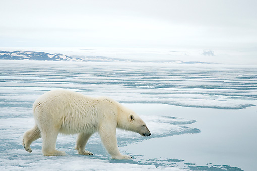 BEA 06 SK0266 01 © Kimball Stock Polar Bear Walking On Sea Ice