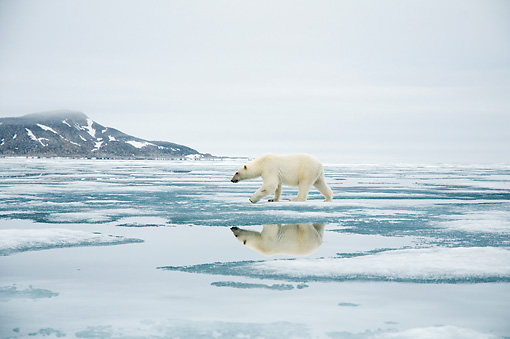 BEA 06 SK0267 01 © Kimball Stock Polar Bear Walking On Sea Ice With Mountain In Background