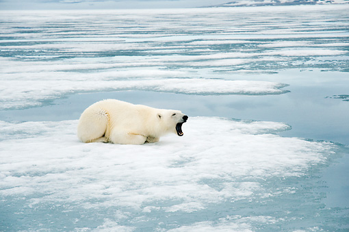 BEA 06 SK0268 01 © Kimball Stock Polar Bear Laying On Sea Ice Yawning