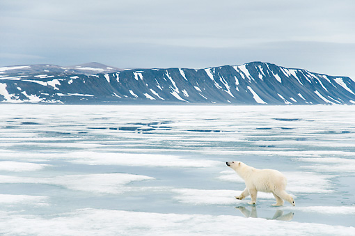BEA 06 SK0270 01 © Kimball Stock Polar Bear Walking On Sea Ice With Head Up With Mountains In Background
