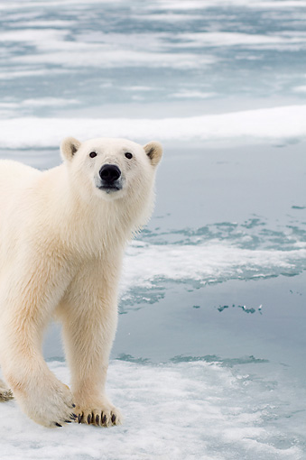 BEA 06 SK0273 01 © Kimball Stock Close-Up Of Polar Bear Standing On Sea Ice