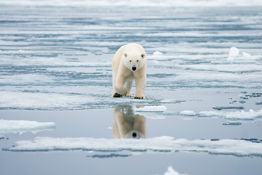 BEA 06 SK0279 01 © Kimball Stock Polar Bear Walking On Sea Ice