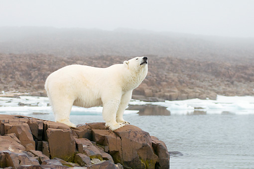 BEA 06 SK0282 01 © Kimball Stock Polar Bear Standing On Rocks By Sea Water With Head Up