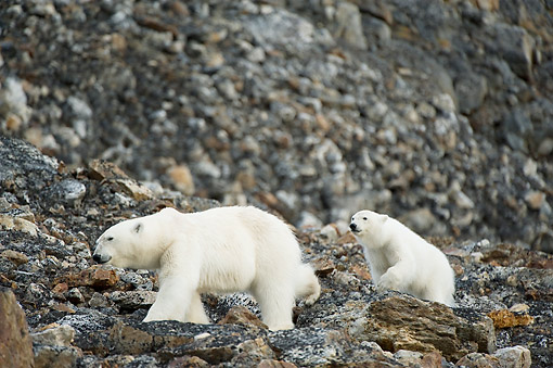 BEA 06 SK0291 01 © Kimball Stock Polar Bear Sow With Cub Traveling Along Spitsbergen And Northwest Coast Of Svalbard