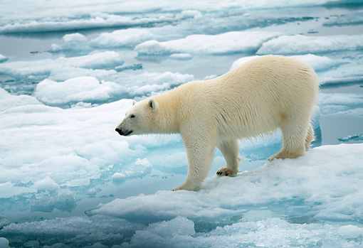 BEA 06 WF0002 01 © Kimball Stock Polar Bear Standing On Sea Ice