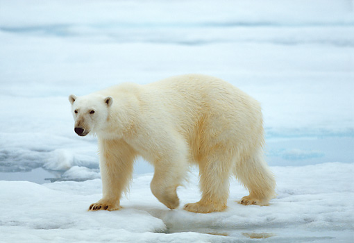 BEA 06 WF0003 01 © Kimball Stock Polar Bear Walking On Sea Ice