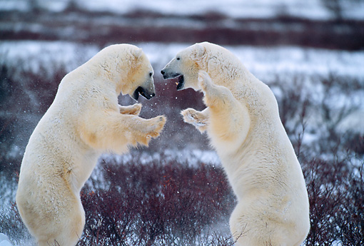 BEA 06 DB0001 01 © Kimball Stock Polar Bears Sparring In Early Winter Canada