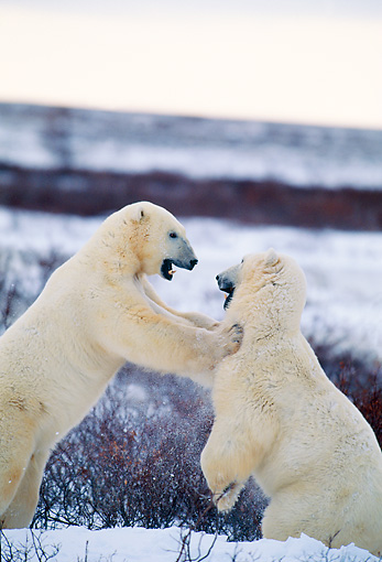 BEA 06 DB0002 01 © Kimball Stock Polar Bears Sparring In Early Winter Canada