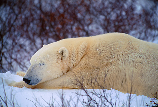 BEA 06 DB0003 01 © Kimball Stock Polar Bear Sleeping In Early Winter Canada