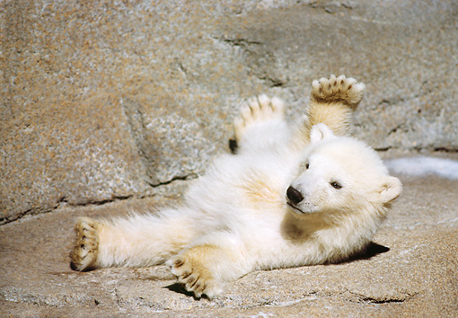 BEA 06 GR0002 01 © Kimball Stock Polar Bear Cub Laying On Back By Concrete Wall