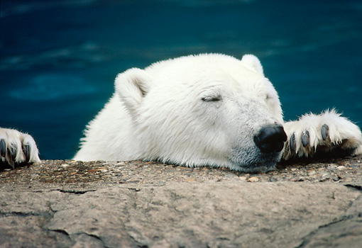 BEA 06 GR0004 01 © Kimball Stock Close-Up Of Polar Bear In Water Resting Head And Paws On Rock