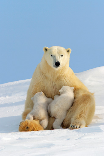BEA 06 KH0005 01 © Kimball Stock Polar Bear Mother Sitting On Snow Nursing Cubs